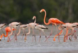 Observers attribute growing flamingo sightings in Florida to wetland restoration