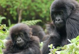 Critically endangered mountain gorilla population grows despite threats to forest habitat